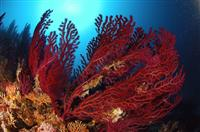 Croatia Diving: Red Gorgonians at  Cathedral deep